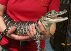 UPDATE: Our little girl is growing up, rescued gator is hearty and healthy